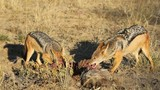 Black-backed Jackals scavenging on a carcass poster