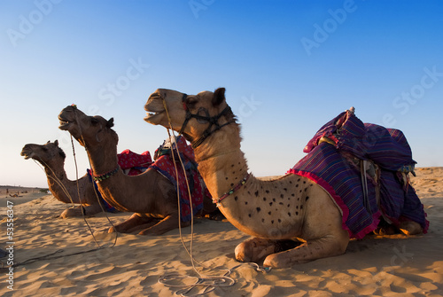 Camel for riding activity in India
