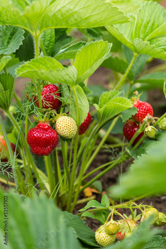 shrub strawberries with red and green