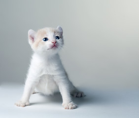 little kitten  on a gray