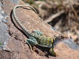 collared lizzard