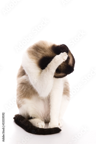 Cat isolated over white background. Animal portrait.
