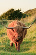 Scottish highlander cow with big horns walking to camera in gras