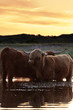 Two scottish highlanders standing in water. Cooling down. Sunset