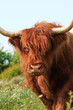 Close-up of scottish highlander cow walking to camera. Eating gr