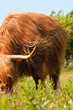 Close-up of scottish highlander cow with fur moved by the wind.