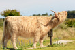 White scottish highlander cow scratching his neck on wooden sign