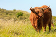 Scottish highlander cow standing in the wind in grass dune lands