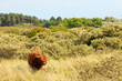 Scottish highlander walking in grass dune landscape. Fur moving