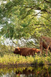Two scottish highlander cows cooling down in shadow in bushes ne