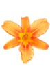 Orange lily flower head isolated on white background