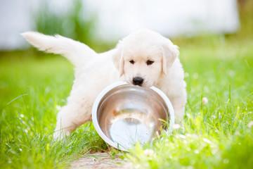 golden retriever puppy carrying a bowl
