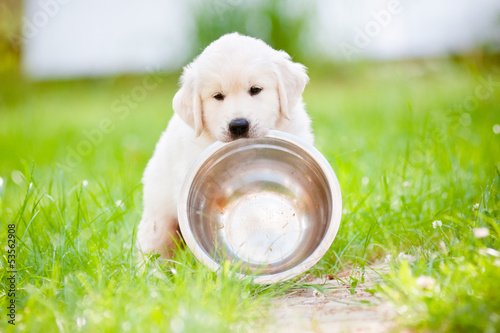 golden retriever puppy carrying a bowl