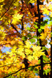 Red, green and yellow maple leaves in fall