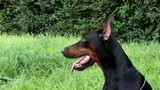 Doberman dog portrait