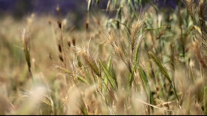 Gold wheat field perfect background