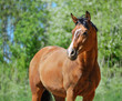 Bay purebred horse
