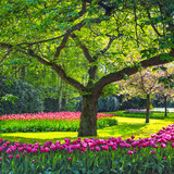 Tree and tulip flowers garden or field in spring. Netherlands