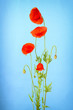 Bunch of red poppy flowers on light blue background