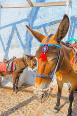 Greece famous Santorini island in cyclades, view of donkeys on s