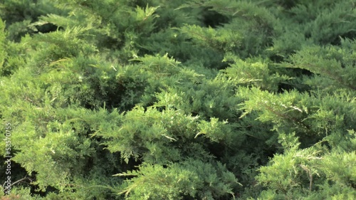Gentle breeze rustles arborvitae shrubs