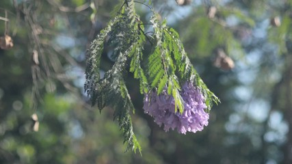 Purple jacaranda branch