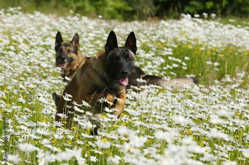 Zwei Schäferhunde im Blumenfeld