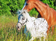 mini Appaloosa and welsh pony in the field