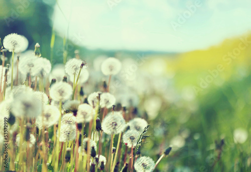 Photo presenting field of dandelions - 53572999