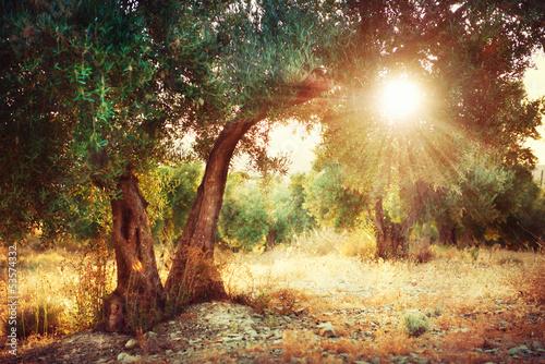 Leinwanddruck Bild Olive Trees