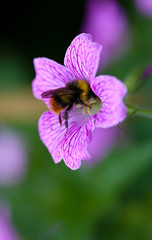 Bumble bee in Endres cranesbill (Geranium endressii)