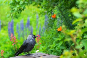 Jackdaw (Corvus monedula) in a garden