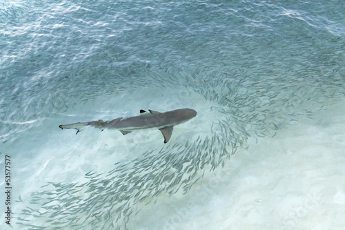 Baby shark and school of small fish