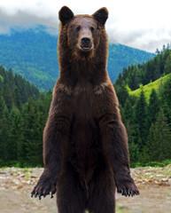 Brown bears in the Carpathians.