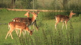 Fawns in nature. Find similar clips in our portfolio.