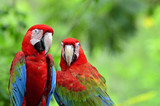 A sweet moment of Green-winged Macaw with romantic pair of color