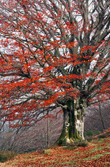 tree in autumn with red vivid colors leaves