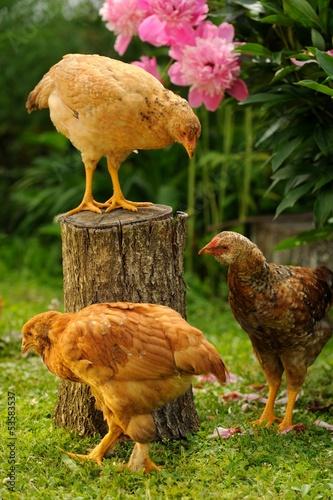 Three Chickens in the Garden