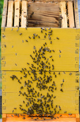 Swarm of bees on the beehive