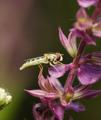 hoverfly on flowers