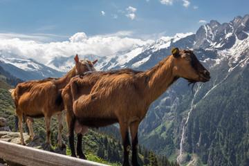 Zwei Ziegen vor Bergpanorama