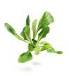 field lettuce.