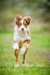 Australian Shepherd Welpe kommt angerannt