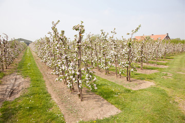 blooming apple orchard and farm house