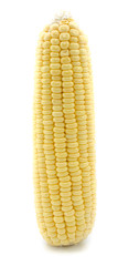 Ear of Corn isolated .