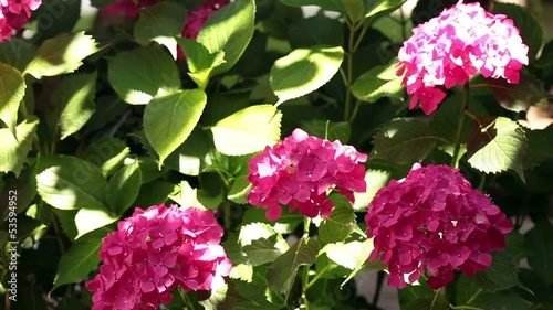 Pink Hydrangea Flowers In The Sunlight