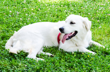 White dog relaxing at the green grass