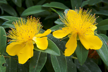 beautiful yellow flowers blooming Hypericum