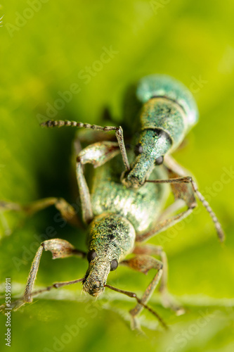 Mating of a couple of green snout beetles