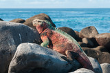 Galapagos Marine Iguana basking in the sun.